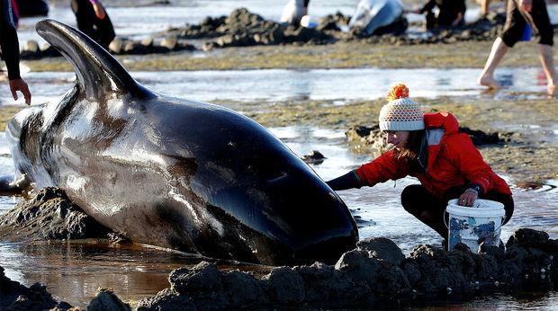 """Фото. В Новой Зеландии периодически происходят массовые """"самоубийства"""" морских обитателей"""