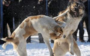 Фото. Собачьи бои – не развлечение или тотализатор, а варварство