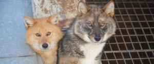 Фото. Шакалайки произошли от шакалов, а походят больше на волков и лис