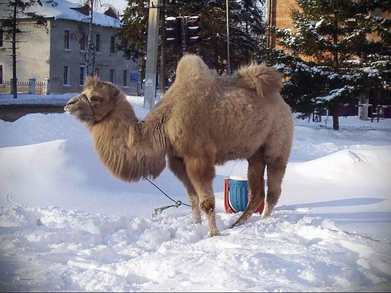 Фото. Цирковой верблюд восемь часов шёл до посёлка Эдучанка после аварии цирковой фуры.
