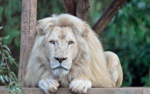 Фото. Белые львы в природе очень уязвимы из-за заметного окраса