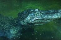 Фото. Крокодил из Московского зоопарка